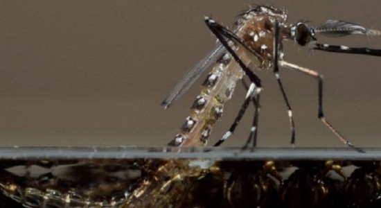 Genetically modified mosquitoes are being used in Brazil to reduce the population of the Aedes aegypti that spreads several viruses.