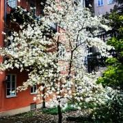 цветущей магнолия в Старом городе в Стокгольме
