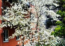 В Стокгольме цветут магнолии!