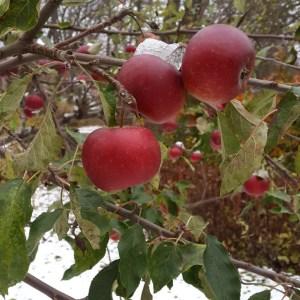 яблоки покрытые первым снегом ноябрь 2016 стокгольм