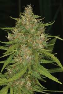 Grape Kush weed