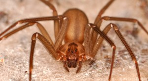 brown_recluse_female