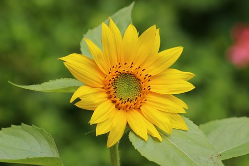 Fall Desktop Wallpaper With Sunflowers 10 Amazing Health Benefits Of Sunflower Leaves Dr Heben