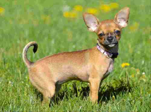 Medium Of Chihuahua Life Span