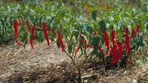 Medium Of Cayenne Pepper Plant