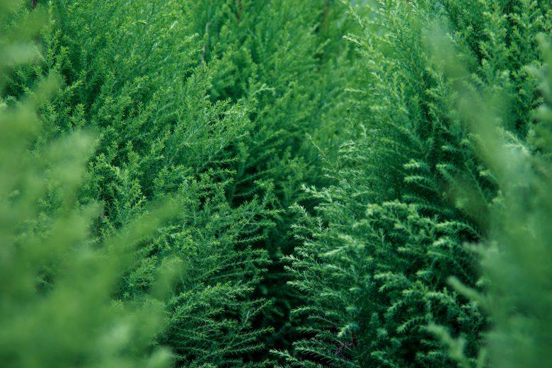 Free Green Pine Tree Texture Texture - L+T