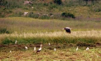 Flight of the storks