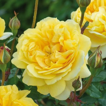 David Austin Shrub Rose The Poet's Wife available from Strawberry Garden Centre, Uttoxeter