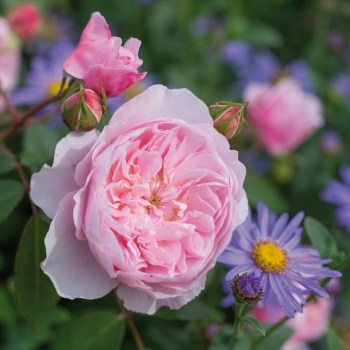 David Austin Shrub Rose Wisley available from Strawberry Garden Centre, Uttoxeter