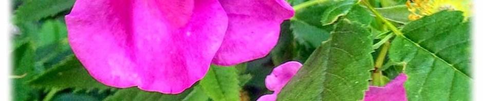 Die Spezialität des Tages: Hummel in der Rose. Foto: hw