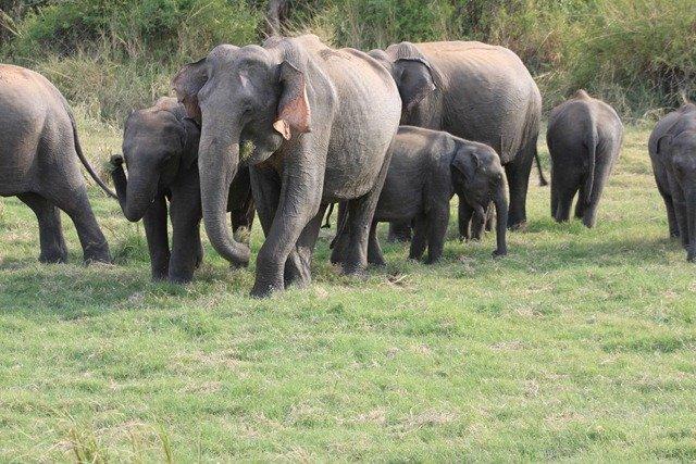 Asian elephant group