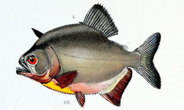 Golden-bellied land piranha