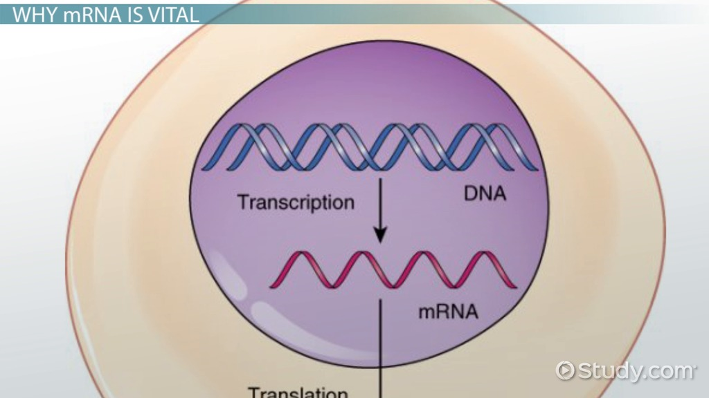 Role of mRNA in Protein Synthesis - Video  Lesson Transcript