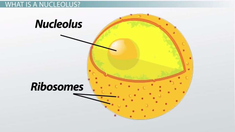What is a Nucleolus? - Definition  Function - Video  Lesson