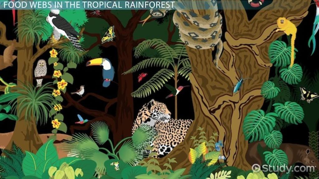 The Tropical Rainforest Food Web - Video  Lesson Transcript Study