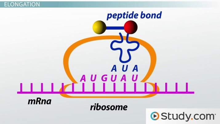 Translation of mRNA to Protein Initiation, Elongation  Termination