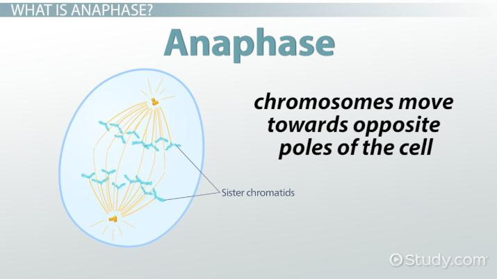 Anaphase Definition  Concept - Video  Lesson Transcript Study
