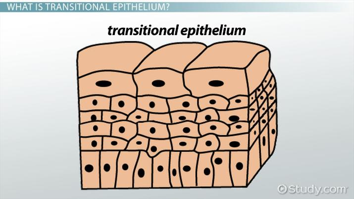 Functions of Transitional Epithelium Tissue - Video  Lesson
