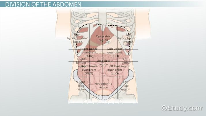 The 4 Abdominal Quadrants Regions  Organs - Video  Lesson