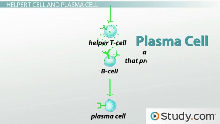 What Are B Cells? - Function and Types - Video  Lesson Transcript