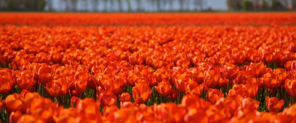 Tulips netherlands queensday