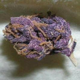 the most purple purplest marijuana strain