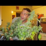 big marijuana plant in a little kitchen