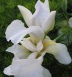 may-flower-white-german-iris1