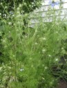nigella-love-in-a-mist-plant2