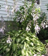 blooming-hosta1