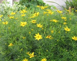 moonbeam-coreopsis-2