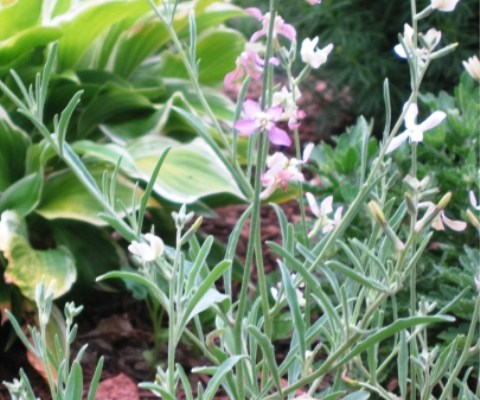 Special flowers - Matthiola Bicornis