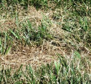 lawn in August