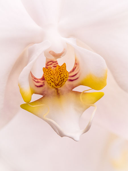 orchid detail photograph