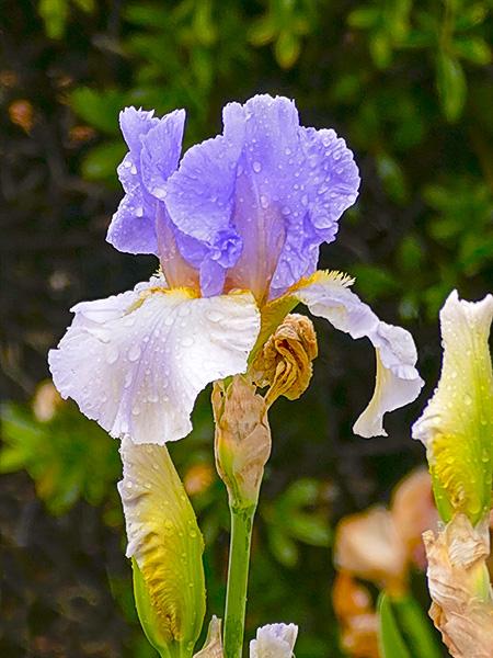 Iris in lavendar