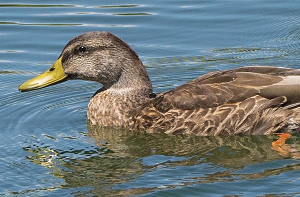 mallard duck detail
