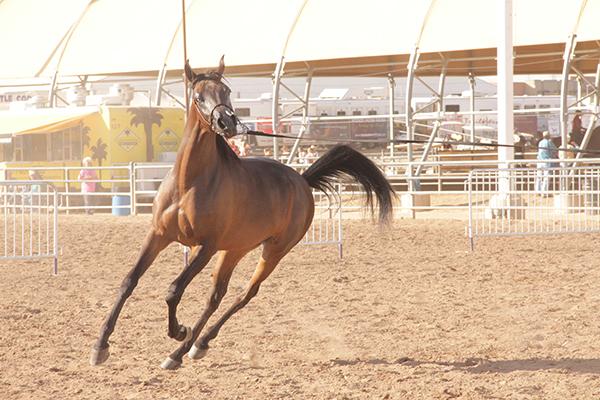 Arabian Before