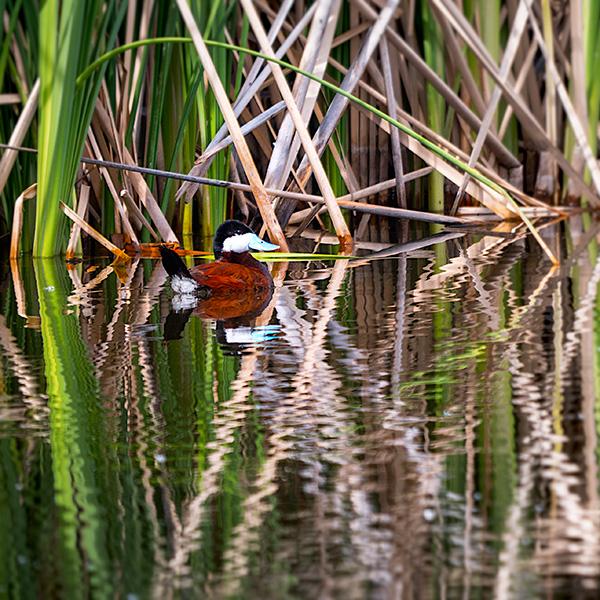 ruddy duck in sedona wetlands