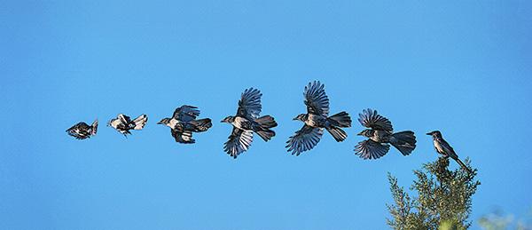 bluejay flight