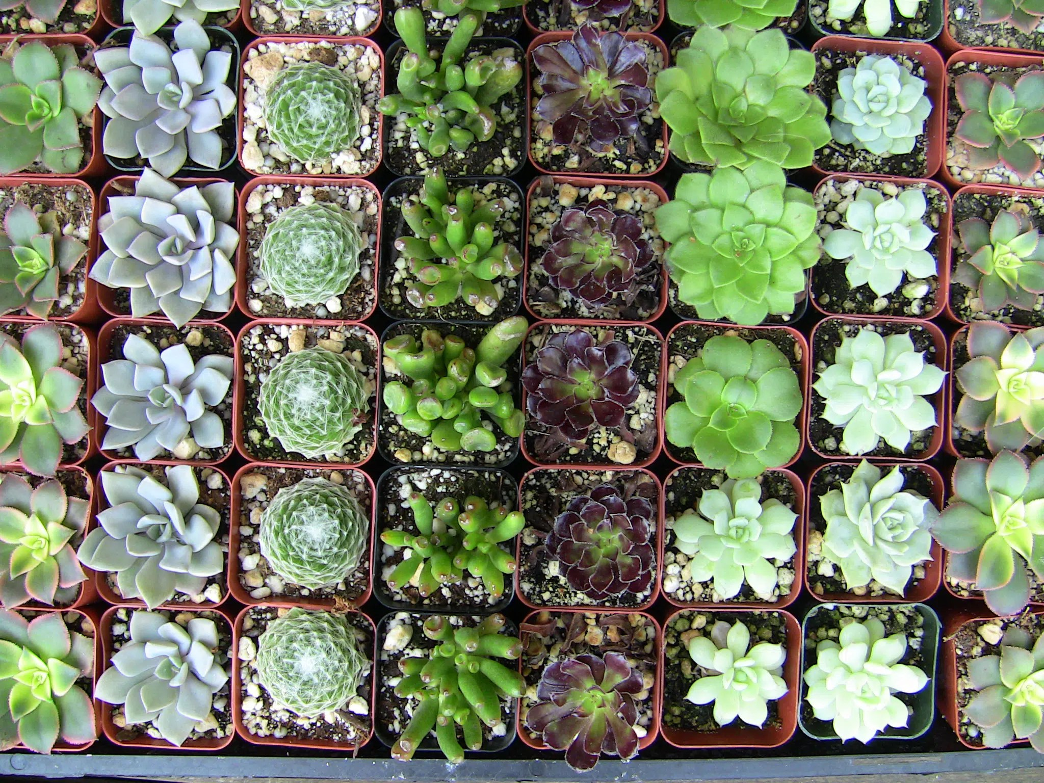 Small Succulent Plants For Sale Collection Of 50 Small Succulents Urban Succulents