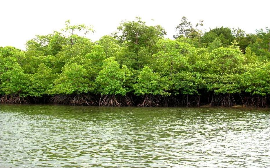 Contoh Hutan Mangrove 5 Manfaat Hutan Mangrove Untuk Manusia Earth Hour Indonesia Contoh Hutan Primer Daerah Aliran Sungai Das Hutan Mangrove