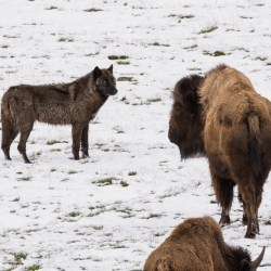 A wolf eyes a bison in Yellowstone National Park. Photo by Mitchell Brutger.