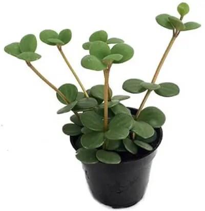Hope Peperomia - Easy to Grow Houseplant