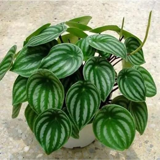 Peperomia Argyreia is a tropical plant