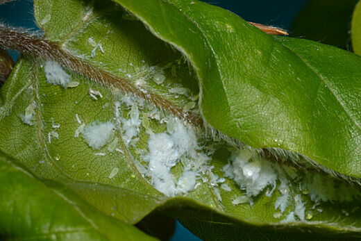 Woolly Beech Aphids is one of the two types of pests that we have seen to be quite prominent of the beech plant