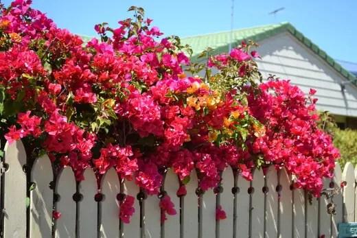 Bougainvillea in a fence
