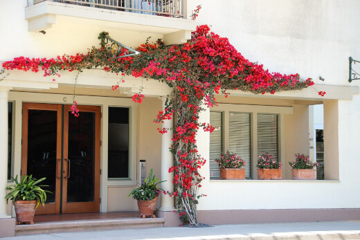 Bougainvillea thriving in sunny weather