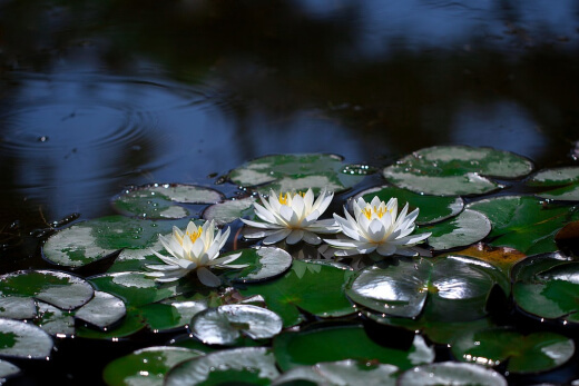 Water lilies are the most popular aquatic plant for koi pond owners