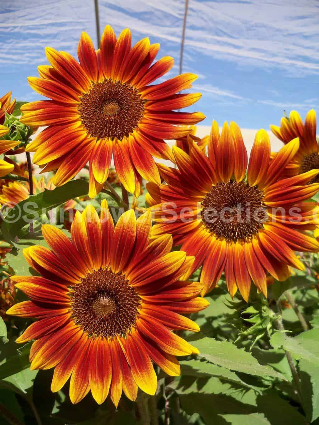 Strawberry Plants For Sale Australia Little Becka Sunflowers Sunflowerselections