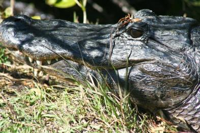 Gator Head CloseUp